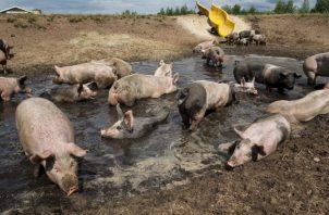Productores han disminuido su hato de porcinos. Efe