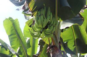 El plátano es el segundo alimento más importante después del arroz en Panamá. Foto: MIDA.