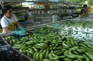 Ecuador figura en la lista de los cinco primeros productores de banano y es el primer exportador de la fruta a nivel mundial. EFE