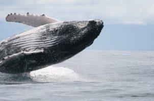 Centenares de familias en Panamá viven del turismo de avistamiento de ballenas jorobadas.  Foto: MiAmbiente