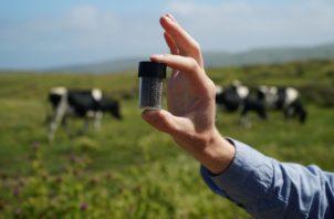 El ganado es una gran fuente de metano. Si fuera un país, sería el tercer mayor emisor mundial de gases de efecto invernadero que fomentan el cambio climático. Efe