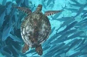 Tortuga Verde que anida en Panamá.   Foto:  Sea Turtle Conservancy