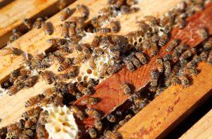 Esos químicos empleados en los insecticidas actúan sobre el sistema nervioso central de los insectos y, solo en Francia, se estima que causaba la muerte a 300,000 colonias de abejas cada año. FOTO/AP