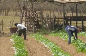 La prolongación de la temporada seca el año pasado estropeó el 70 % de la cosecha de primera.