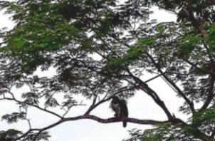 Supuesto avistamiento del Águila Harpía _(Harpia harpyja)_ en la comunidad de Quebrada de Piedra