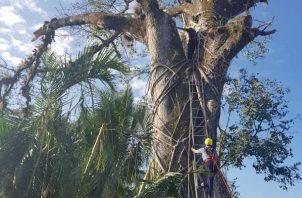El hombre casi cae del árbol al sentir un fuerte dolor de espalda. Foto: Víctor Eliseo Rodríguez.