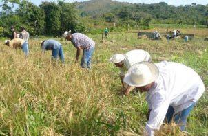 Productores de arroz aseguran que el IMA les debe cerca de 4 millones de dólares.