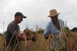 Panamá no es autosuficiente en la producción de arroz. Archivo