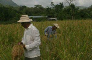 El consumo anual del arroz es  de aproximadamente 7,834,332 quintales. Foto/Archivo