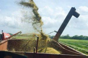 Ya inició el periodo de cosecha del grano. Foto: José Vásquez.