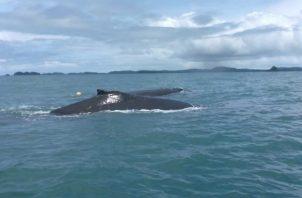 Se estima que cada año viajan más de 2,000 Megaptera Novaeangliae, nombre científico de esta clase de ballena, desde la Antártida y desde Alaska hasta Panamá.