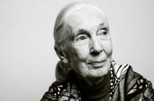 Tarzán atrajo a Jane Goodall a África. Un video de animales en un laboratorio la convirtió en activista. Foto/ Guerin Blask para The New York Times.