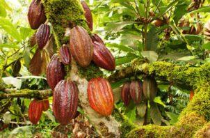 """El Salvador, que en la actualidad es """"deficitario"""" en la producción de cacao"""