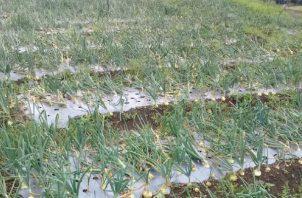 El promedio de consumo mensual de cebolla es de 51 mil quintales y la producción promedio nacional anual es de 300 mil quintales. Foto: Cortesía.