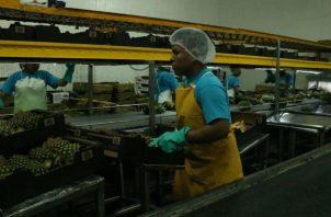 El primer contenedor de piña panameña fue exportado hoy a Beijing, República Popular China.