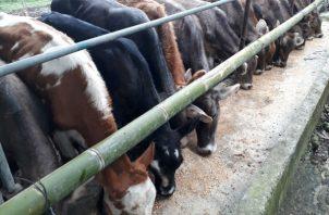 Sólo en la provincia de Chiriquí, hay 39 fincas cuarentenadas, donde se ubicaron animales reactores a la brucelosis.