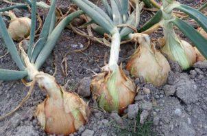Actualmente se siembran 400 hectáreas en Tierras Altas, Chiriquí.