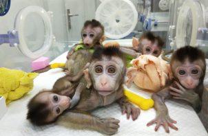El gigante asiático anunció este jueves la clonación de los cinco monos con el objetivo de realizar investigaciones sobre problemas como el trastorno del sueño. FOTO/EFE