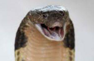 La serpiente es altamente venenosa. Foto: EFE/Ilustrativa.