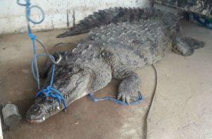 Personal de Mi Ambiente en Bocas del Toro dieron a conocer que el tamaño del cocodrilo era de aproximadamente mas de tres metros de largo y una vez fue capturado se liberó la mañana de este viernes en Whachou (rio Sixaola).