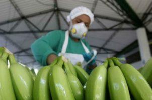 El banano es el principal producto de exportación a China. Foto: EFE.