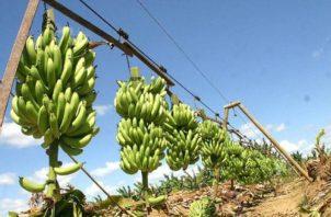 """El """"Mal de Panamá"""" habita en el suelo y afecta el plátano y el banano. Foto: Colprensa"""