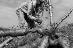 Panamá debe cambiar su modelo económico urgentemente, de modo que este sea sostenible, con empleo y con un sector agro en movimiento. Foto: EFE.