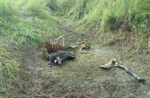 Los restos del animal fue lo único que le dejaron al productor. Foto: Thays Domínguez