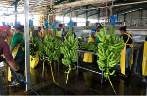 La reactivación de la zona bananera supone una producción de 900 hectáreas cada año y una productividad promedio de 2,725 cajas de banano por hectáreas, por año. Foto/Cortesía