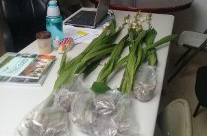 La flor del Espíritu Santo se ubica en mayor cantidad en las Minas de Herrera, Boquete-Chiriquí y el Valle de Antón, entre otros lugares de climas frescos y lluviosos. Foto/Eric Montenegro