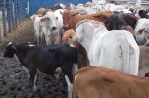 A causa de la sequía en el país murieron muchos animales, dijo el presidente de Anagan. Foto/ArchivoA causa de la sequía en el país murieron muchos animales, dijo el presidente de Anagan. Foto/Cortesía