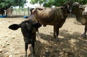 La falta de agua afecta directamente al ganado. Foto: Epasa