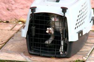 Un gato fue encontrado en la residencia que fue allanada en  Altos del Chase, en Betania.