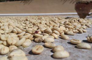 Rompió el récord mundial por libra de café pagado en una subasta electrónica. Foto: Aurelio Martínez.