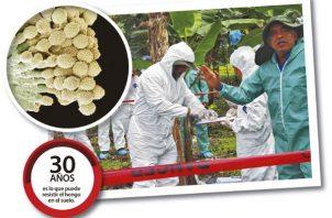 Las autoridades prohibieron  ingresar al país cualquier material proveniente de plátano y banano.