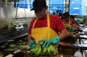 El hongo ataca la planta del banano. Foto: Mida.