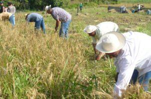 Panameños consumen más de 7 millones de quintales de arroz. Archivo
