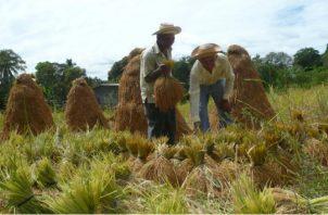 Productores aseguran que en este momento no es necesario importar  arroz. Archivo