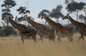 Desde 1985, las poblaciones de jirafas han caído 40 por ciento por toda África. Una reserva nacional en Kenia. Foto/ Goran Tomasevic/Reuters.
