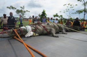 El año pasado, un enorme lagarto fue sacado de uno de los afluentes de desagüe pluvial, en el área de los Cuatro Altos.