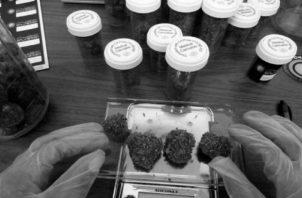 La legalización del uso de la marihuana en la medicina es un tema que en muchos países está en estudio. Foto EFE
