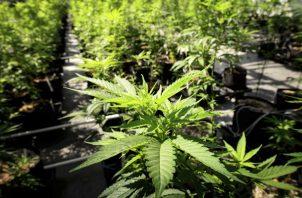 """la Primera Sala ordenó a la Comisión Federal para la Protección contra Riesgos Sanitarios (Cofepris) que autorice a los solicitantes de los amparos """"consumir personalmente marihuana,  sin comercializarla. FOTO/AP"""