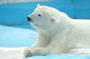 La osa polar Yupik sufría una cardiopatía dilatada. Foto: EFE.