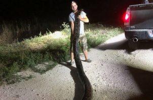 Kyle Penniston sostiene la serpiente pitón birmana en los Everglades en Miami, Florida. Foto: EFE.