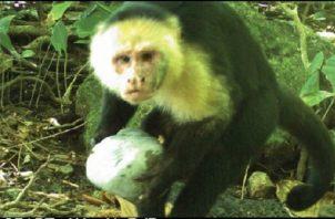 Mono cariblanca. Foto: Cortesía/Smithsonian