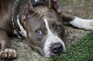 El pitbull terrier es la raza que se toma para  crear el proyecto. Foto: Archivo
