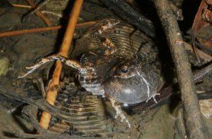 Rana túngara macho haciendo llamados con su gran saco vocal inflado. Foto: Adan Dunn.