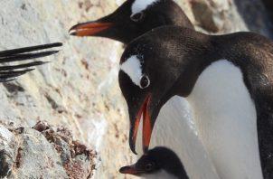 Familia de pingüinos papúas cerca de la base argentina Brown de la Antártida. Foto: Claudia elkopf/Homeward Bound.
