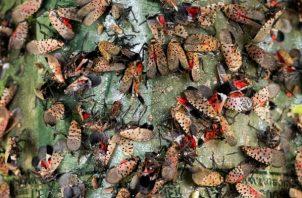 Bichos linterna moteados, especie invasiva de Asia, destruyen cultivos y llenan aceras en Pennsylvania. El Estado ha instado a los residentes a matarlos. Foto/ Daniel Vasta para The New York Times.