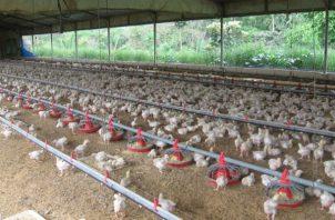 Durante el mismo periodo (2012-2018) la producción de huevos también aumento de 498 a 704 millones. Foto/Archivo